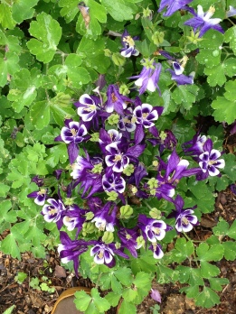 Variegated Columbine in my Garden