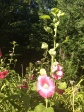 My Early Morning Hollyhocks