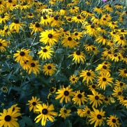 Black-Eyed Susans--my Summer Favorite!