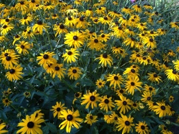 Black-Eyed Susans--my Summer Favorite!