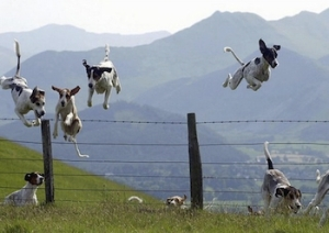 dogsjumpoverfence-hurdle-350x248